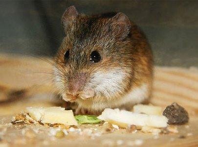 Что едят мыши и чем питаются в домашних условиях