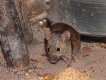 Защита от мышей – Как навсегда избавиться от мышей на даче: профессиональные и народные стредства